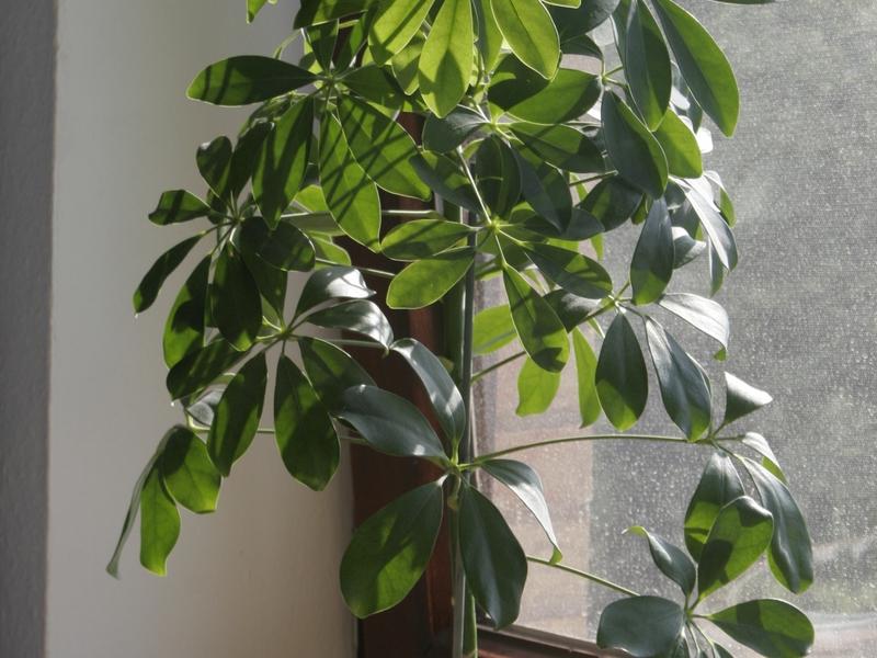 Болезни растения шефлера