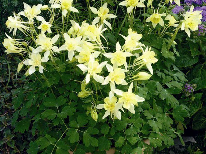 Купить редкие гибриды лилии дешево
