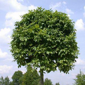 Посадка ясеня размножение и уход, фото дерева, листьев и его описание