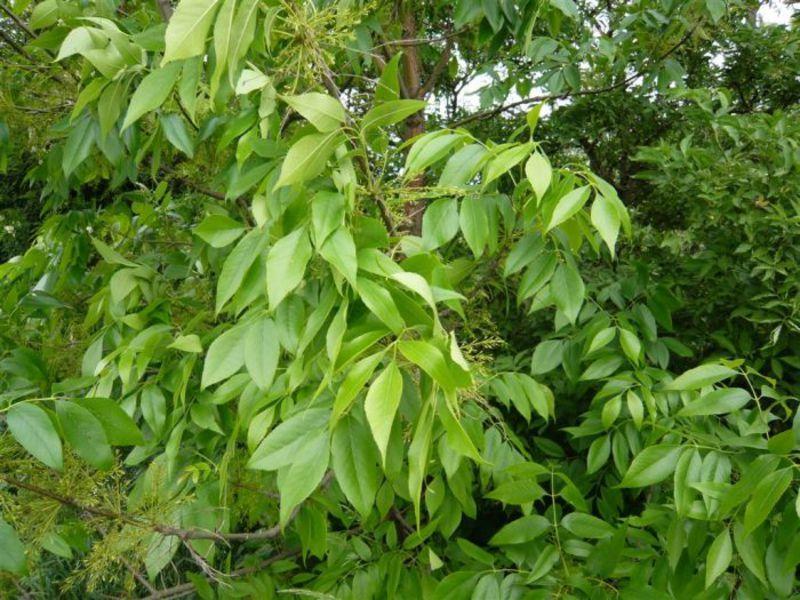 Ясень лист