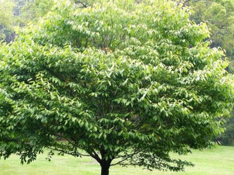 24 мар 2016. В результате, по подсчетам ученых, на земле вскоре может вообще не остаться этих деревьев. Фото: wikimedia images. До италии. Вызывающий болезнь грибок вида hymenoscyphus fraxineus поражает листья ясеня, затем ветви, перебирается на ствол и постепенно убивает дерево.