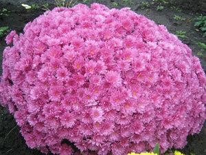 Цветы хризантемы многолетние кустовые низкорослые