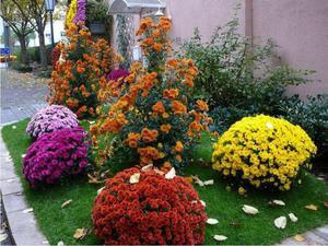 садовые хризантемы посадка и уход