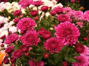Красивые цветы хризантемы