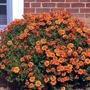 Уход за садовой хризантемой и процесс выращивания