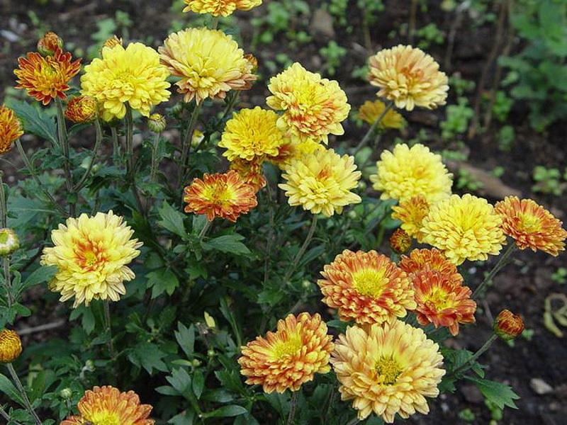 Фото садовых цветов хризантем