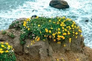 фото цветок эшшольция