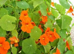 Как вырастить настурцию выращивание из семян, когда сажать в открытом грунте, уход в домашних