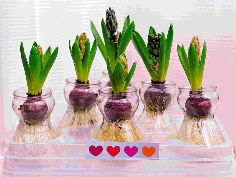 Цветы гиацинты фото