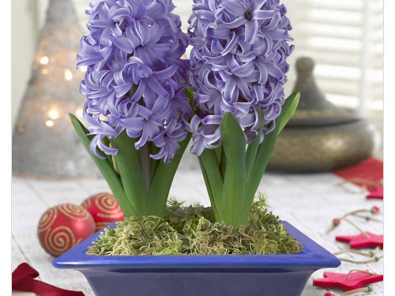 Как в домашних условиях выращивать гиацинты в