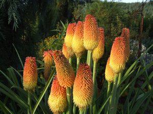 Выращивают книфофию из семян и делением корневищ