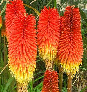 Редкое растение книфофия
