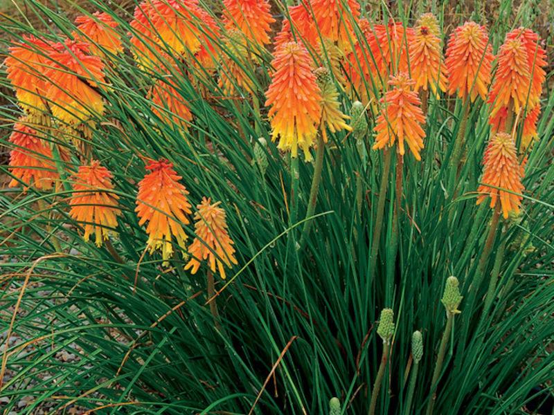 книфофия растение фото