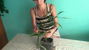 Как выращивать цветок имбирь в домашних условиях из корнеклубня правила выращивания и ухода,