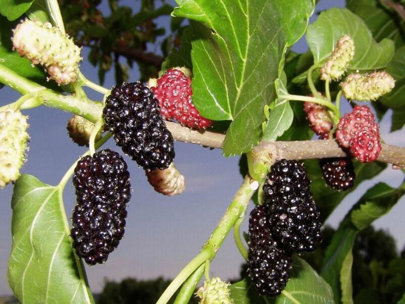 Шовковиця фото ягода