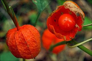 Как выращивать физалис