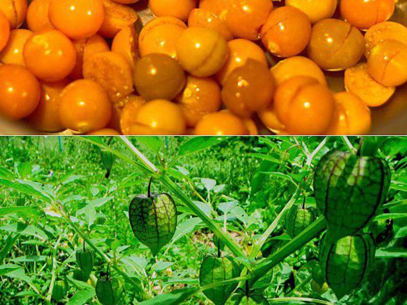 Физалис выращивание и уход