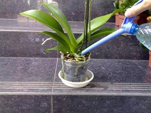 Как поливать орхидею фаленопсис в домашних условиях