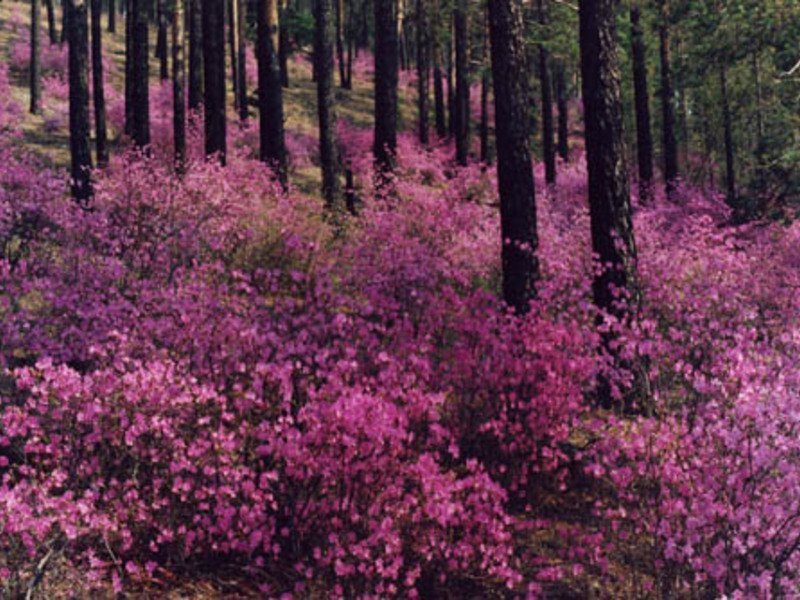 когда цветет болотный багульник
