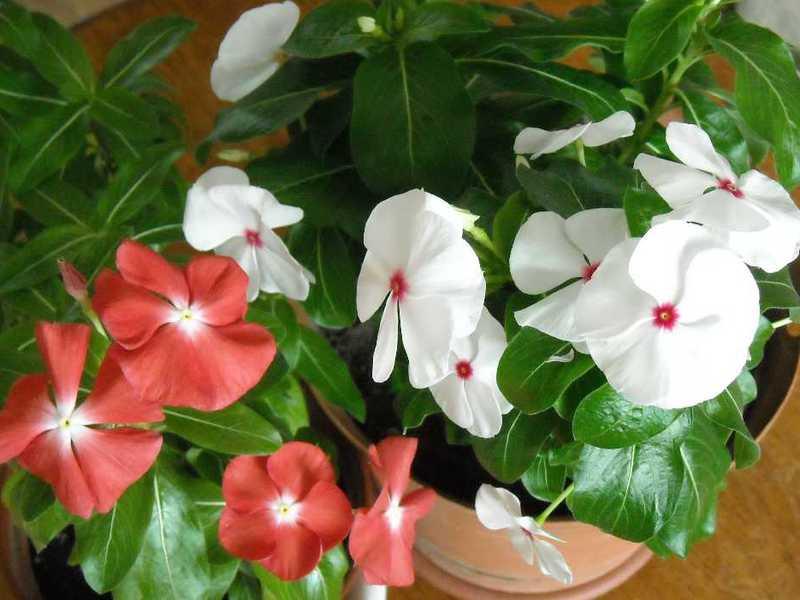 Катарантус фото выращивание из семян в домашних условиях фото
