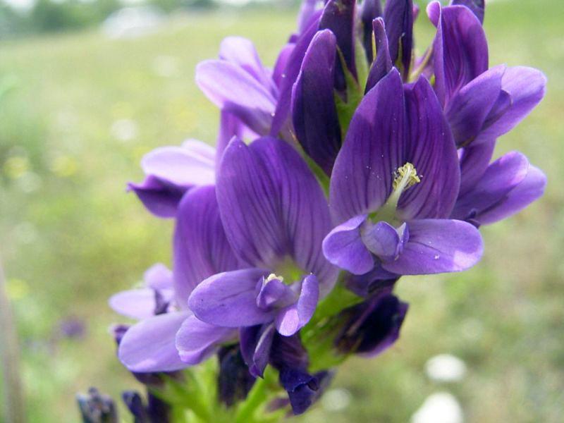 Люцерна цветов