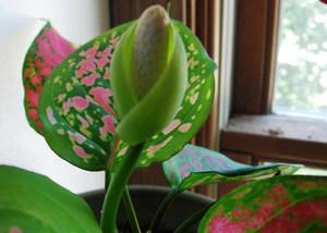 Цветок аглаонема