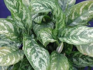 Цветок аглаонема виды растения с фото, описание аглаонемы Мария и других сортов, уход в домашних