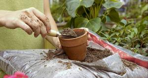 Как правильно пересадить денежное дерево пересадка толстянки и уход за ней в домашних условиях