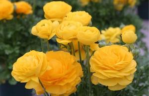 Лютики фото квітів