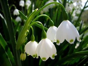 Ландыш серебристый фото цветов