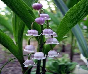 Цветы ландыши фото