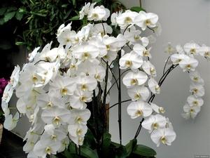 Белые орхидеи: фото, описание растения и уход за ним в домашних условиях