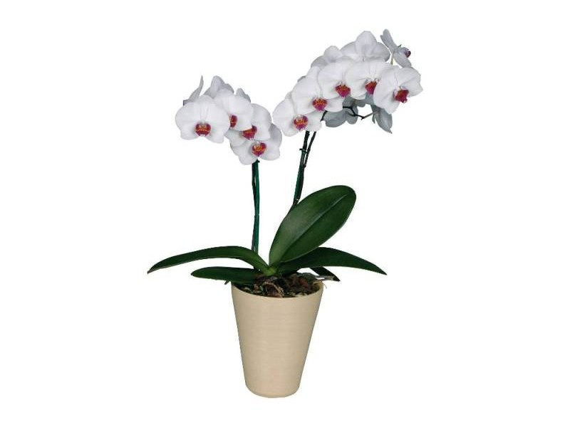 Комнатная орхидея с фиолетовыми цветами как называется