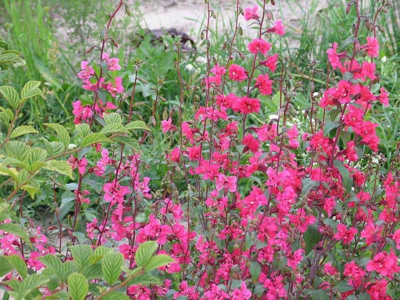 Цветы кларкия изящная посадка и уход фото