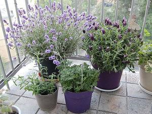 Особенности выращивания лаванды в домашних условиях