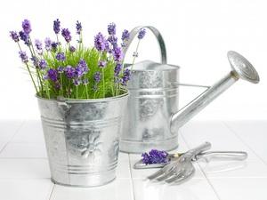 Как выращивать в домашних условиях лаванду из семян: посев и выращивание растения из семян, правила ухода