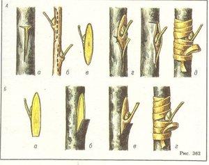 Как прививают грушу