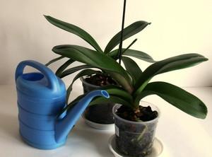 Неправильный полив орхидей