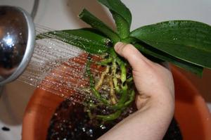 Советы опытных цветоводов, как реанимировать увядшую орхидею