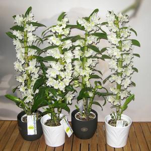 виды с фото орхидей