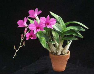 разновидности орхидей дендробиум фото и названия