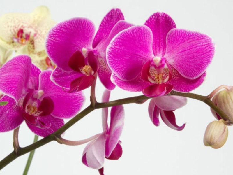 Период цветения орхидеи
