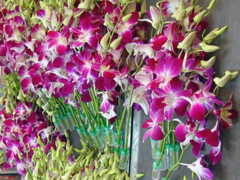 Комнатные цветы Дендробиум