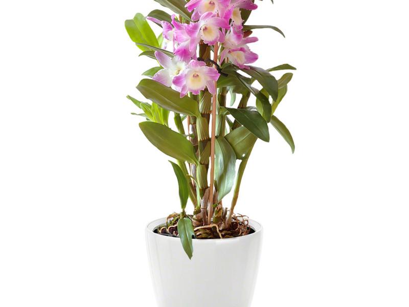 Орхидеи Выращивание в домашних условиях Разведение и уход