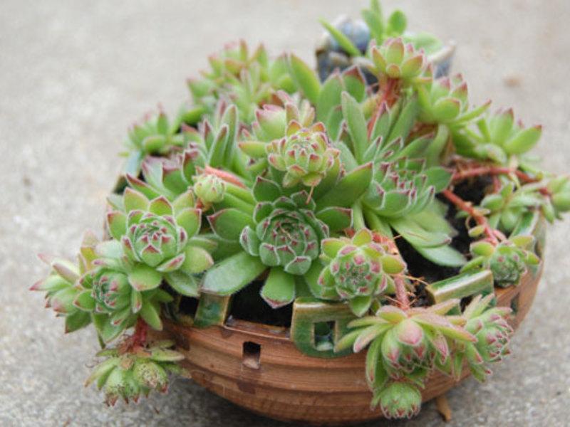 Описание растений суккулентов