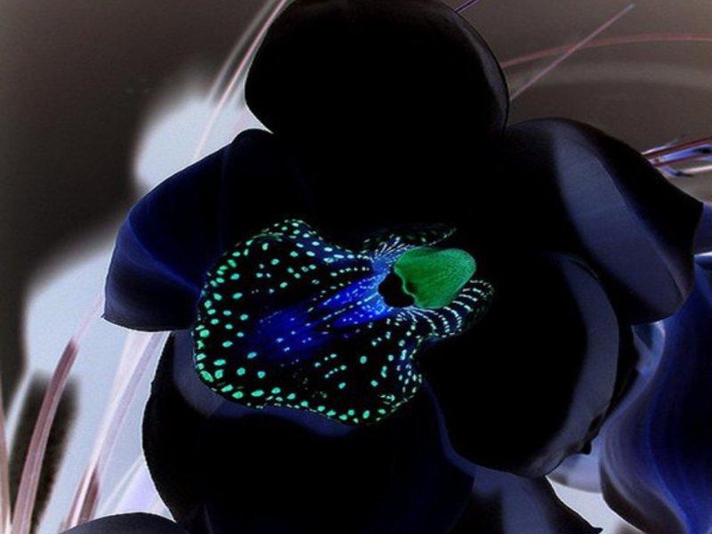 Фото чёрная орхидея