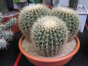 виды кактусов с фото с названиями