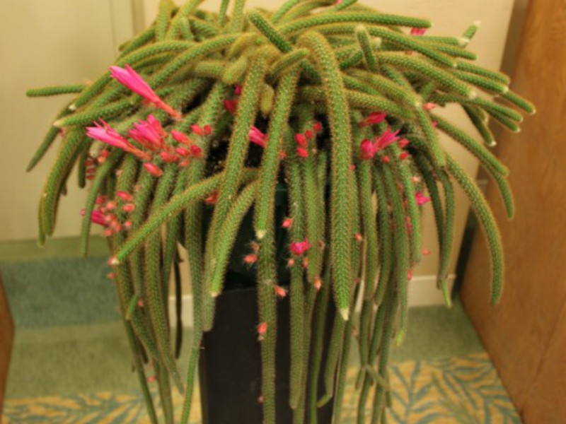 кактус высокий уход в домашних условиях фото