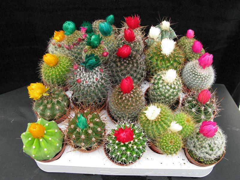 Кактусы уход и выращивание в домашних условиях 37