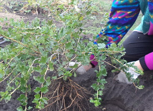 Крыжовник посадка и уход в открытом грунте